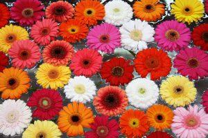 Blüten Gerbera Foto Birgit