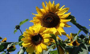 Sonnenblume sunflowers blue sky