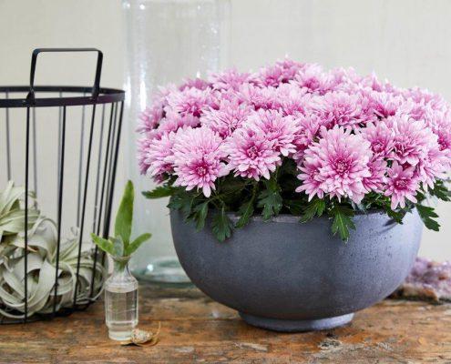 Chrysantheme im Pflanzgefäß