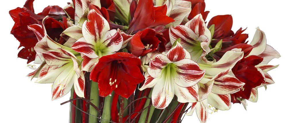 Amaryllis für die Vase