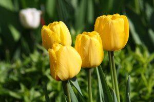 gelbe Tulpen, Foto von Birgit Puck