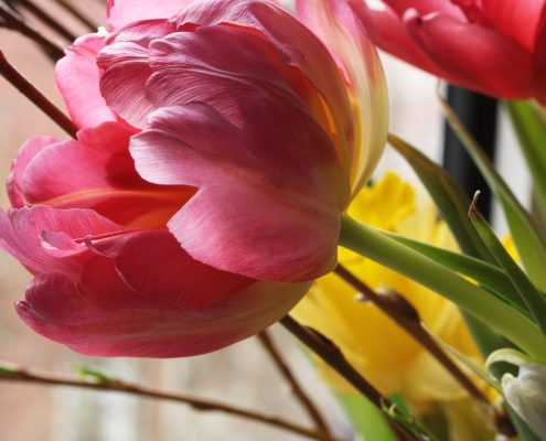 Blüte der Tulpe, Detailfotografie von Birgit Puck