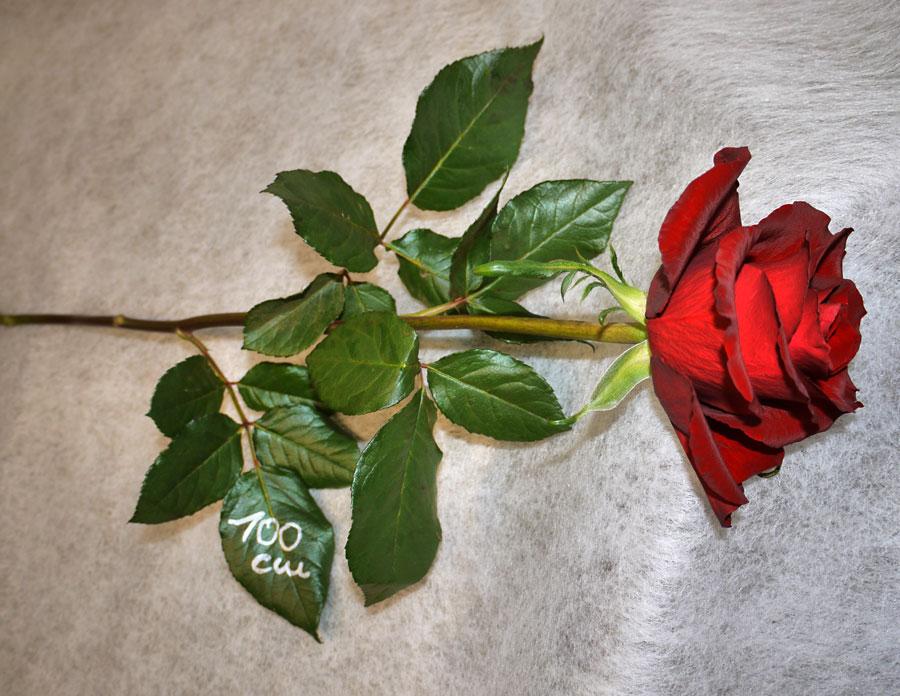 Rote Rose 1m im Blumenladen in Kiel