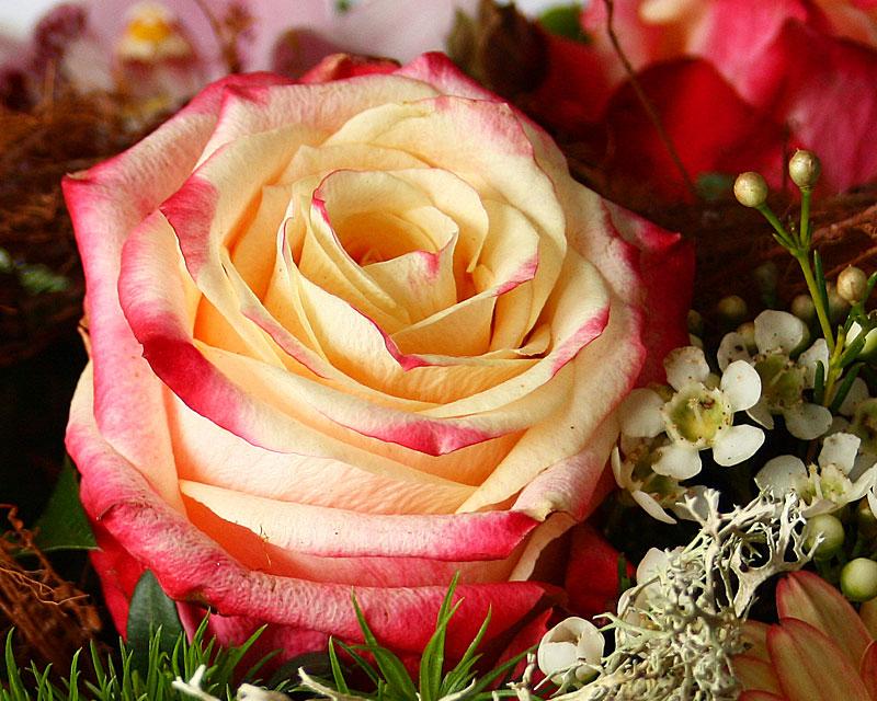 Rosenblüte, Farbe Vanille und zarter roter Rand