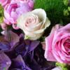 Hortensie blau-violett