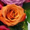 Rosenblüte Farbe Apricot