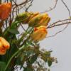 Blüten Französische Tulpen
