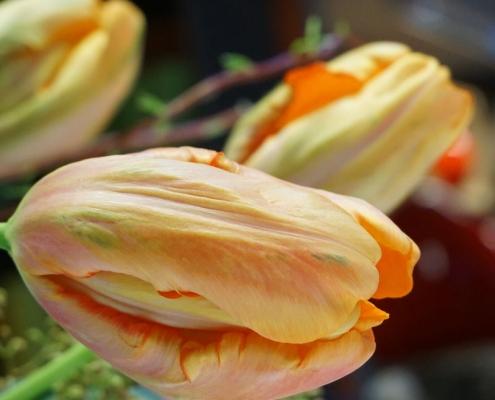 Tulpenblüte Französische Tulpe