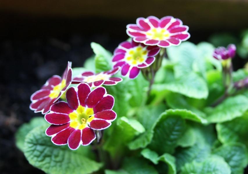 Aurikel auf der Chealsea Flowershow, Foto Birgit Puck