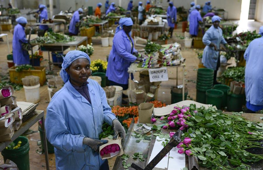 Fairtrade-Blumenfarm Simbi Roses, Kenia, Fotograf: Joerg Boethling