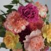 wunderschöne Nelkenblüten in den Farben Pink, Rosa, Weiß gerändert, Gelb und Dunkelrot