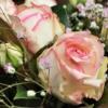 weiß-rosa Blüte der Biedermeierrose