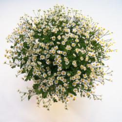 25 Blütenstiele Kamille